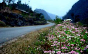 Tháng 10 rủ nhau đi Hà Giang ngắm hoa tam giác mạch