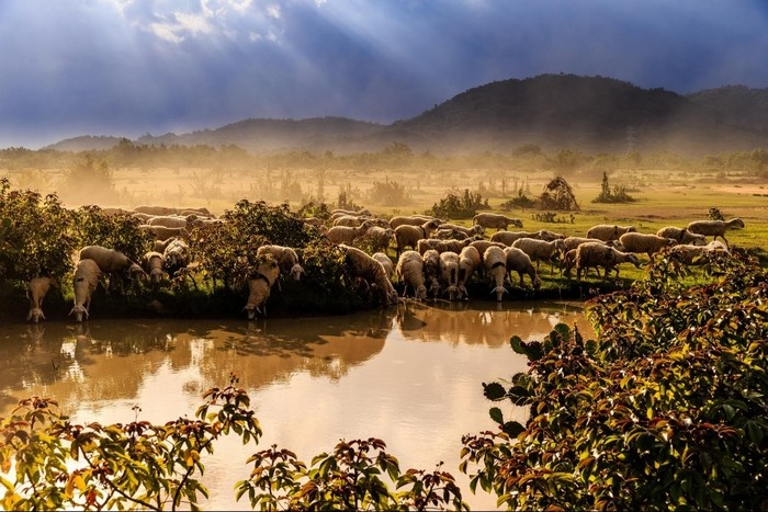 Khung cảnh bình yên ngất ngây lòng ở trại cừu - Ảnh: John Phuong Nguyen