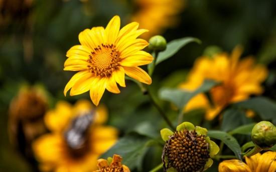 Hoa dã quỳ đẹp dân dã thu hút lòng người