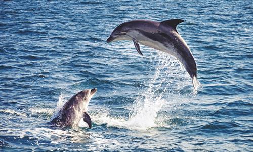 Du khách có thể dễ dàng ngắm cá heo, cá voi ở Maldives.