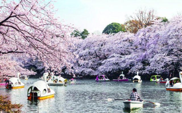 Những địa điểm ngắm hoa anh đào đẹp bạn nên đến một lần trong đời