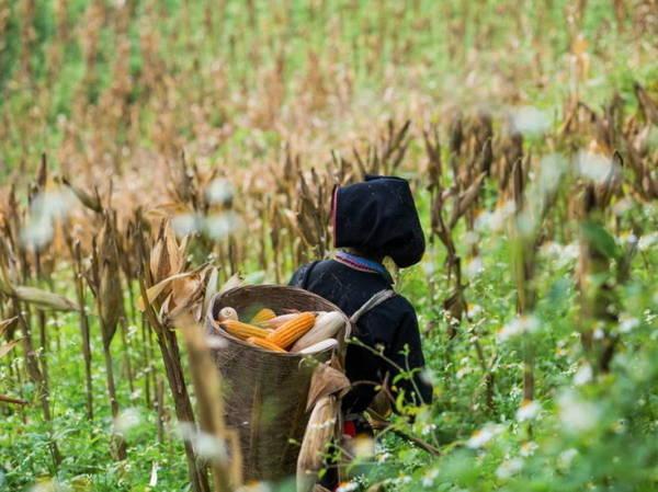 Người Dao Đỏ đi thu hoạch ngô - Ảnh: Réhahn