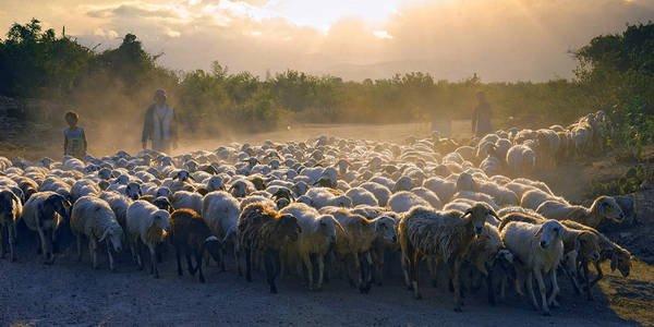 Đàn cừu ở Ninh Thuận. Ảnh: Ninhthuan.vietccr.vn