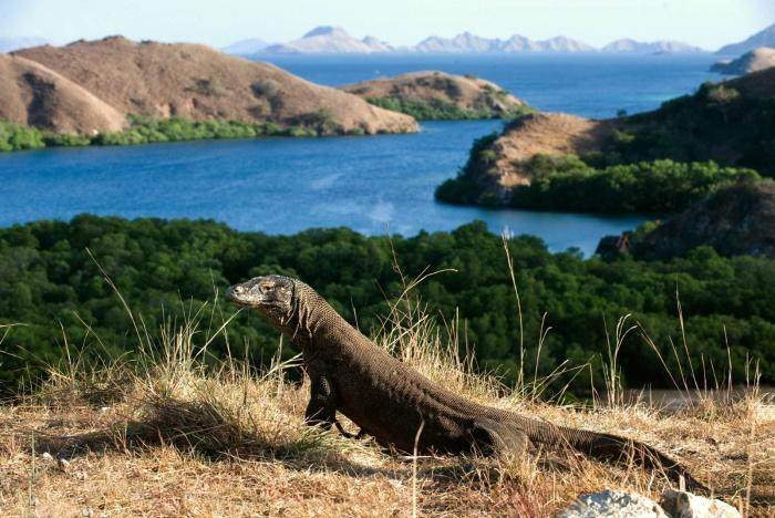 Loài rồng Komodo nổi tiếng trên thế giới
