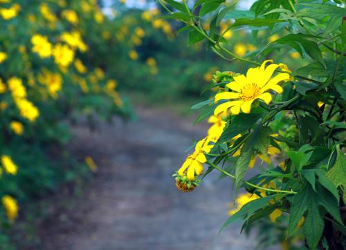 Dã Quỳ  nở rộ cả bạt rừng, màu vàng rực rỡ  gắn sâu vào tim mỗi người