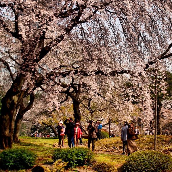 Vườn quốc gia Shinjuku Gyoen nằm ở Shinjuku, vào mùa hoa anh đào nở khu vườn rộng 58,3 ha với hơn 1.000 cây hoa trở nên ấn tượng vô cùng. Nếu đến đây vào cuối tháng 3, bạn sẽ chiêm ngưỡng những cây hoa anh đào nở sớm đầu mùa. Nơi đây hợp với những chuyến dã ngoại cùng gia đình, bạn bè.