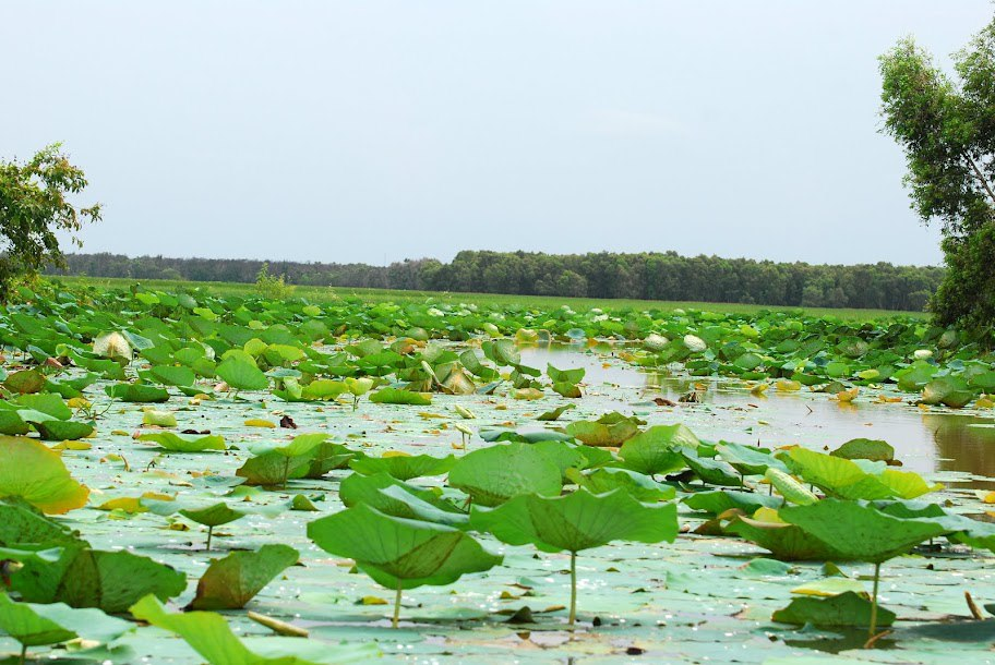 Đầm sen trong vườn quốc gia Tràm Chim